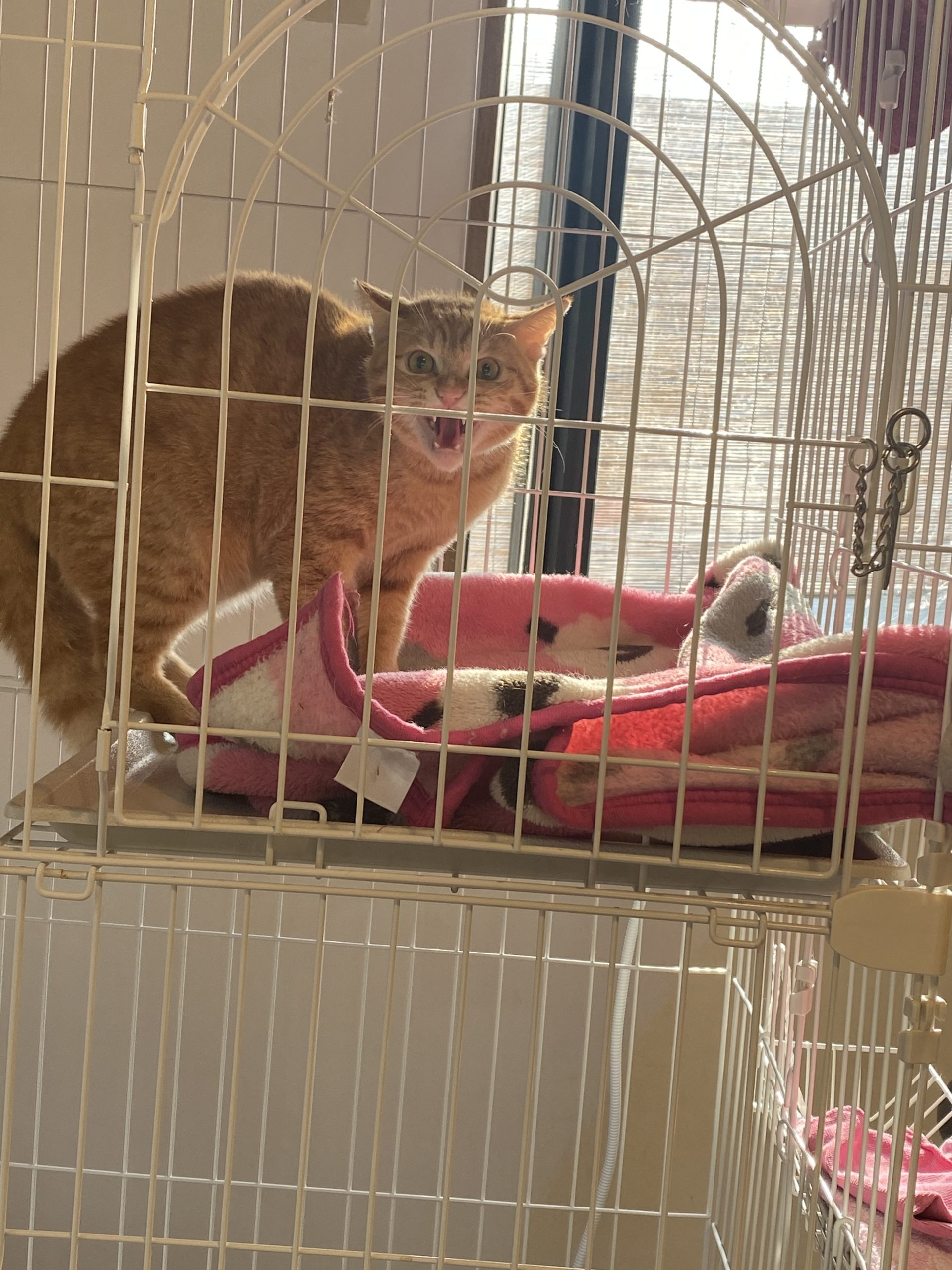 威嚇している私の猫