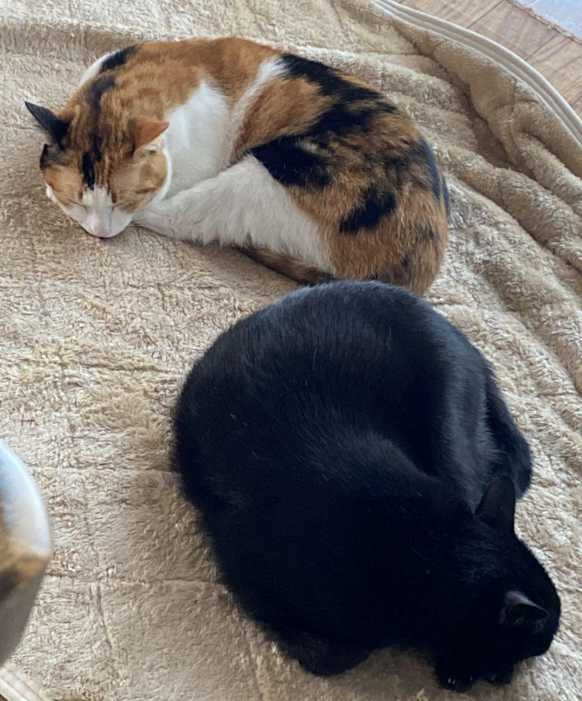 三毛猫と黒猫が寝ているところ