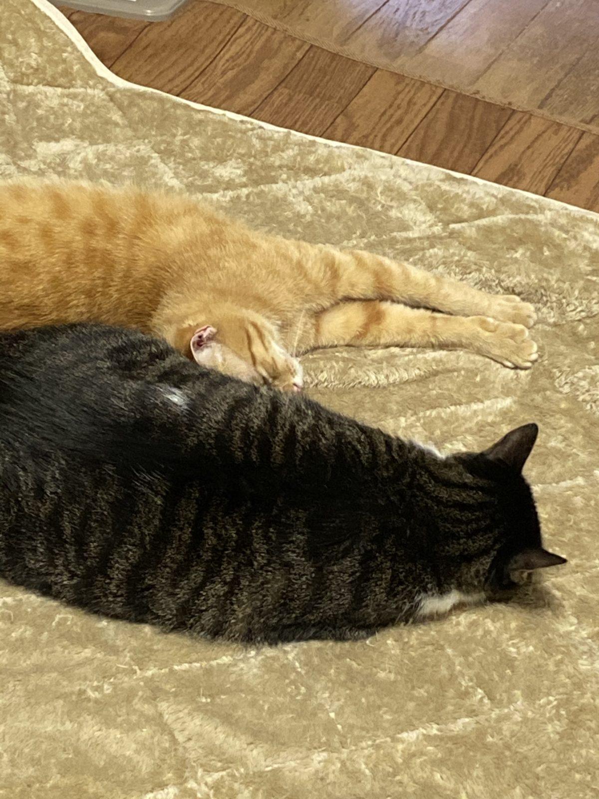 私の家の2匹の猫です。茶トラとキジ猫