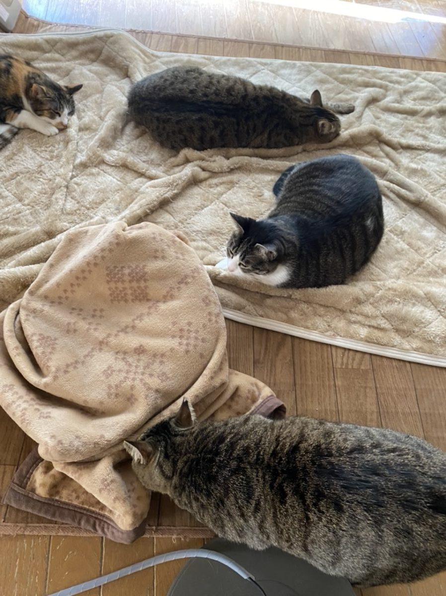 ブランケットの中に入った猫を猫が観察しているところ