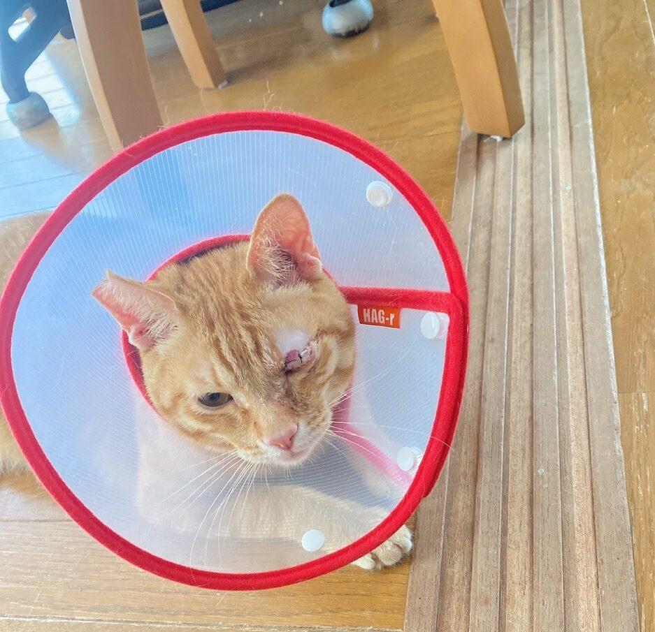 猫の瞬膜フラップ手術